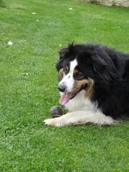 Pepsie, chien Berger australien