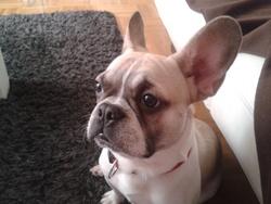 Pepsy, chien Bouledogue français