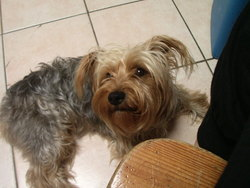 Pepsy, chien Yorkshire Terrier