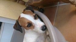 Edji, chien Jack Russell Terrier