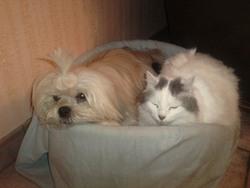 Pepsy, chien Lhassa Apso
