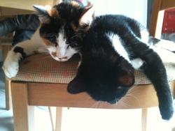 Pepsy, chat Gouttière