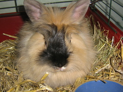 Pepsy, rongeur Lapin