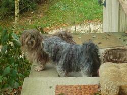 Pepsy Et Ploum, chien Lhassa Apso
