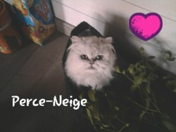 Perce-Neige, chat Persan