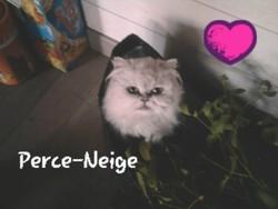 Perce-Neige, chat Persan