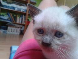 Perce, chat Siamois
