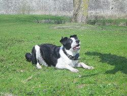Percy, chien Border Collie