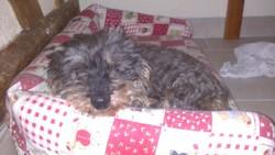Perdie Rip, chien Teckel