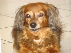 Perdy, chien Teckel
