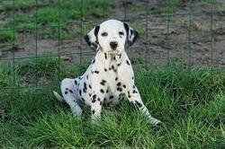 Perla, chien Dalmatien