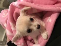 Perla, chiot Chihuahua