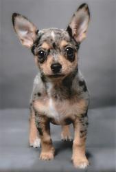 Perla, chien Chihuahua