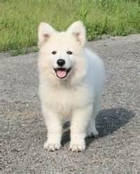 Perle, chien Berger blanc suisse