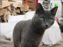Perle, chat Bleu russe