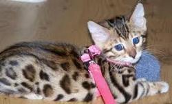 Perle, chat Bengal