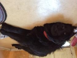Perle, chien Terre-Neuve