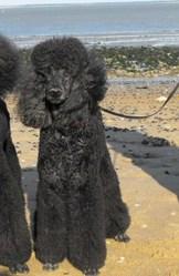Perle, chien Caniche