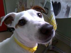 Perle, chien Jack Russell Terrier