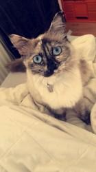 Perle, chat Européen