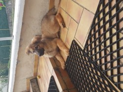Perle, chiot Berger allemand