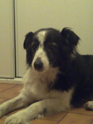Perle, chien Border Collie