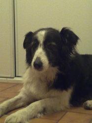 Perle, chien Border Collie