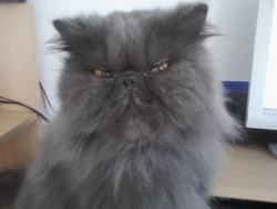 Perle, chat Persan