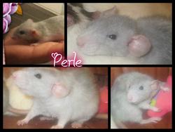 Perle, rongeur Rat