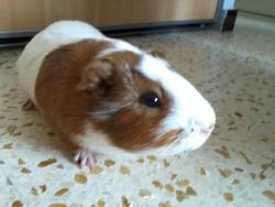 Perle, rongeur Cochon d'Inde