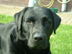 Perle, chien Labrador Retriever