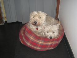 Perle, chien West Highland White Terrier