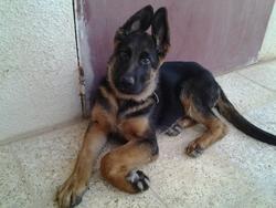 Perlo, chien Berger allemand
