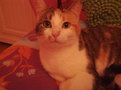 Perlou, chat Gouttière