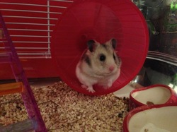 Perry, rongeur Hamster