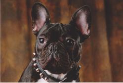 Perry, chien Bouledogue français
