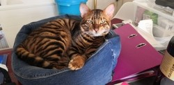 Persee, chat Toyger