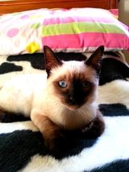 Petchou, chat Thaï