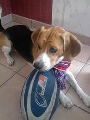Peter, chien Beagle