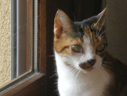 Petié, chat Européen