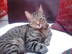 Petit Chat, chat Européen