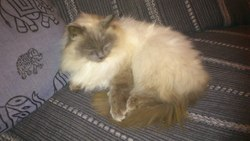 Petit Chat, chat Birman