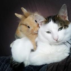 Petit-Chat, chat Européen