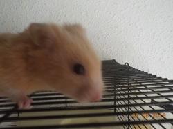 Petit Coka, rongeur Hamster