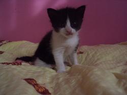 Petit Farkh, chat