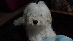 Petit Lou, chien Terrier tibétain