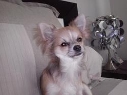 Petit Loup, chien Chihuahua