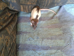 Petit Malou, rongeur Rat
