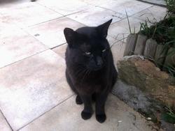 Petit Noir, chat Européen