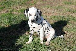 Petit Point, chien Dalmatien